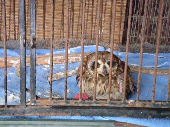 A pueo (owl) with two broken legs. Photo courtesy PETA.
