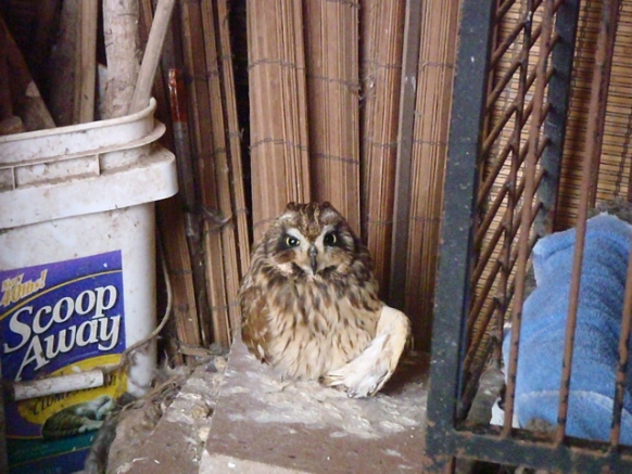A pueo (owl) with an broken left wing. Photo courtesy PETA.