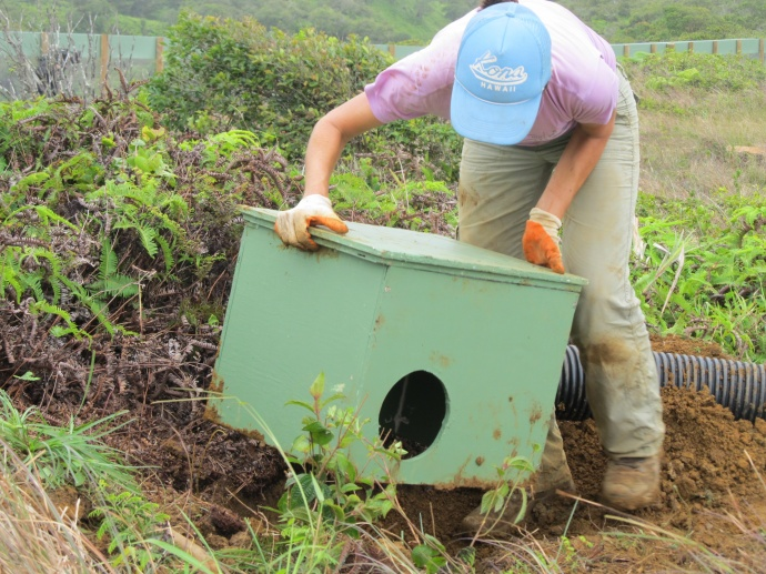 Alicia Rhoades, First Wind Habitat Conservation Plan Compliance Technician, installing a shearwater burrow. Courtesy photo.