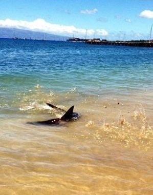 A shark close to shore at a beach in Lahaina. Photo: Carlos Rock