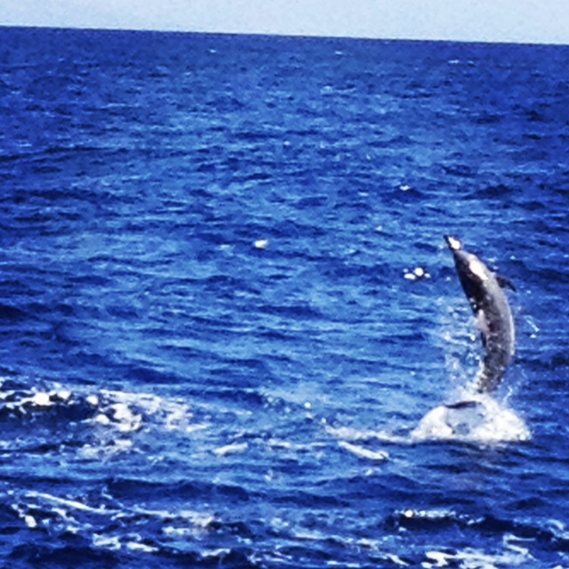 No competition here. My best spinner dolphin photo is pretty crappy. Photo by Vanessa Wolf
