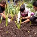 Families working in the garden at Maui Farm. File photo, courtesy image.