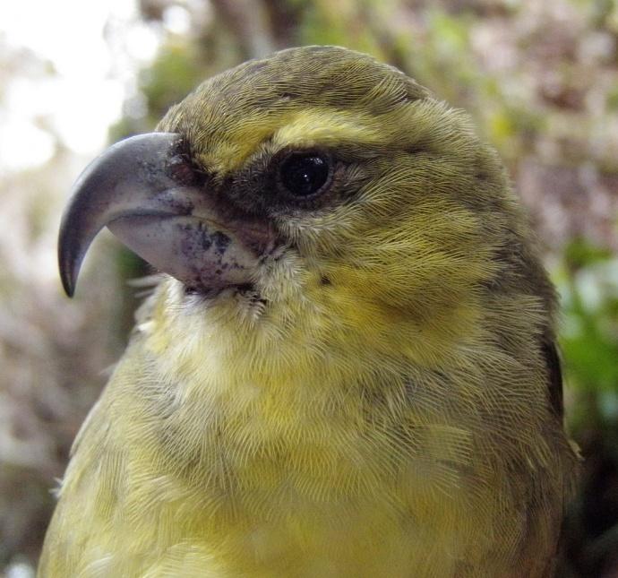 The Maui Parrotbill. Photo courtesy MFBRP.