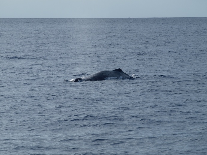 First Maui whale sighting of 2013.  Photo courtesy Pacific Whale Foundation.