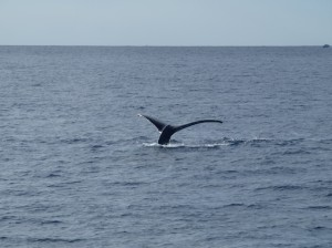 First Maui whale sighting of 2013. File photo courtesy Pacific Whale Foundation.