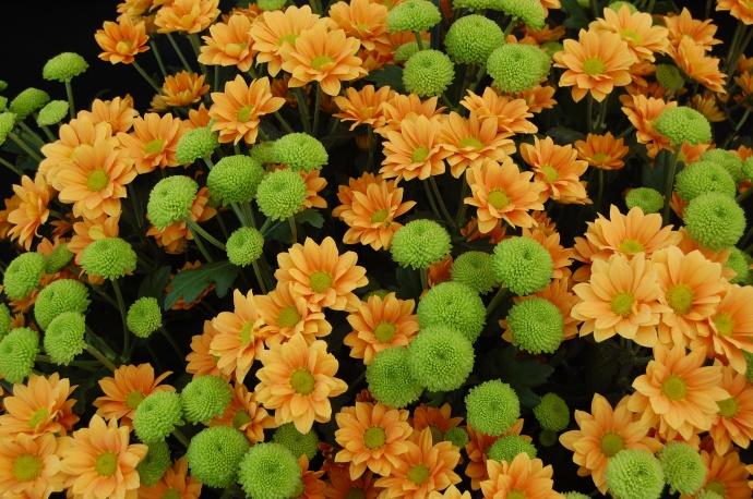 Chrysanthemum 'Enbee Wedding Golden' and 'Feeling Green'. Photo courtesy Wikimedia.