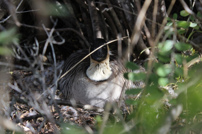 A female nene incubates eggs. This and one other nene are nesting alongside the park road. Photo courtesy Haleakalā National Park.
