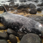 Preliminary investigation of the adult male Risso's dolphin (Grampus griseus) by researchers at Hawai'i Pacific University's Marine Mammal Stranding Program indicate signs of severe disease in its heart, lungs and stomach. Photo credit: NOAA Permit #932-1905.