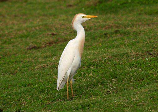 The cattle egret, aka bubulcus-ibis. Photo courtesy Bryan Harry / Pacific Islands Coral Reef Program.