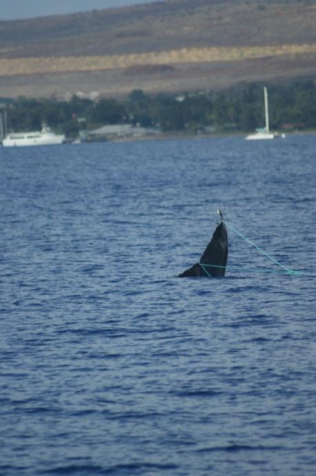 whale-entangled-lahaina-2013-11-12-worsfolds-family