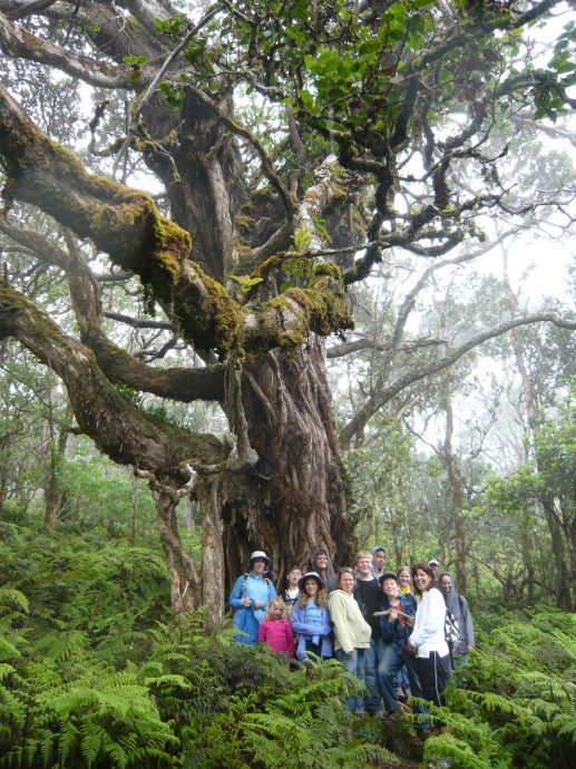 An ōhi'a lehua tree in the Waikamoi Preserve was accepted for Exceptional Tree status in Maui County. Photo courtesy The Nature Conservancy Hawai'i Program.