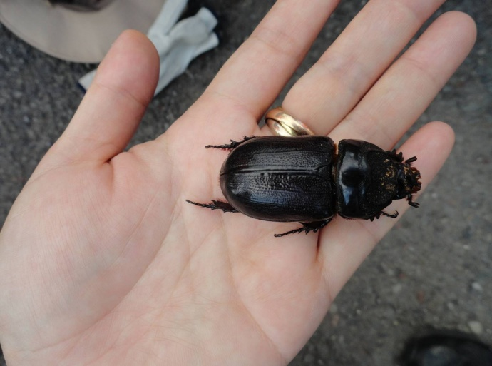 Coconut Rhinoceros Beetle.  Photo courtesy, Hawaiʻi Department of Agriculture.