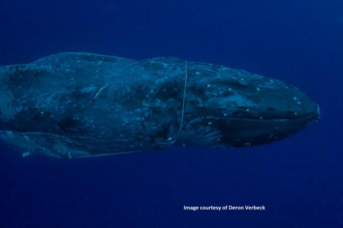 Photo cortesy: Deron Verbeck/ HIHWNMS / NOAA Fisheries MMHSRP Permit # 932-1905.