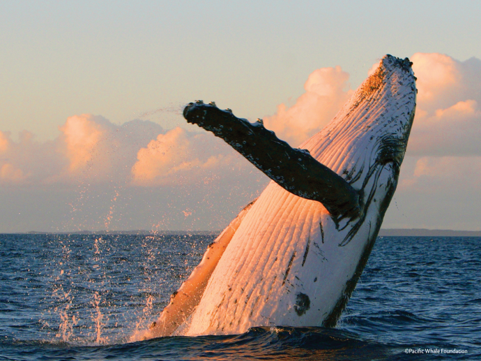 That's just amazing, isn't it? Image courtesy Pacific Whale Foundation.