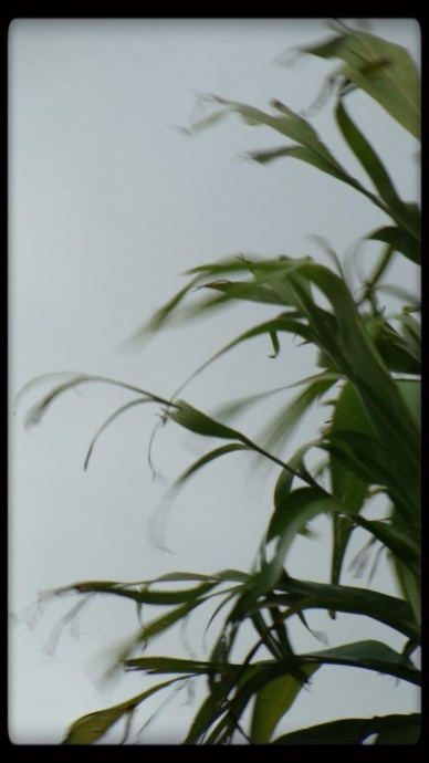 Wind rustling ti leaf plant, file photo by Wendy Osher.