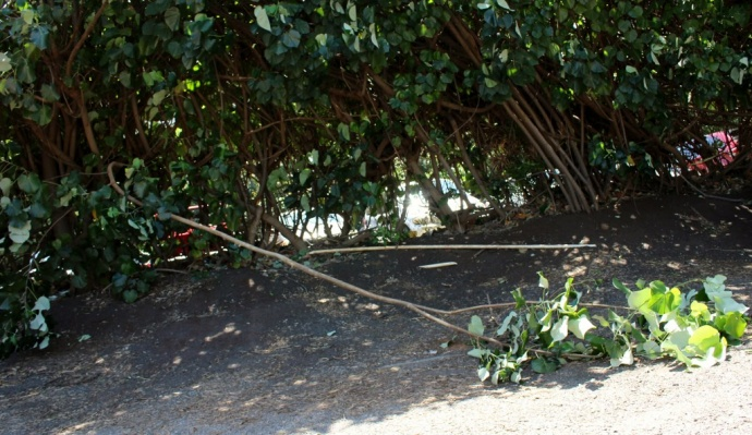 Windy conditions resulted in tree branches and debris on many Maui roadways. Photo 3/16/14 by Wendy Osher.