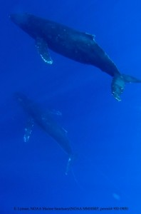 Underwater image Humpback whale with entanglement Courtesy of E. Lyman - NOAA HIHWNMS - MMHSRP (permit # 932-1905)
