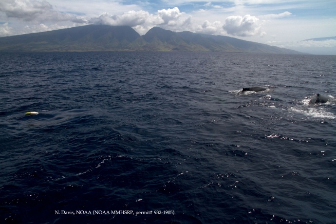 Humpback whale with entanglement Courtesy of N. Davis - NOAA HIHWNMS - MMHSRP (permit # 932-1905)
