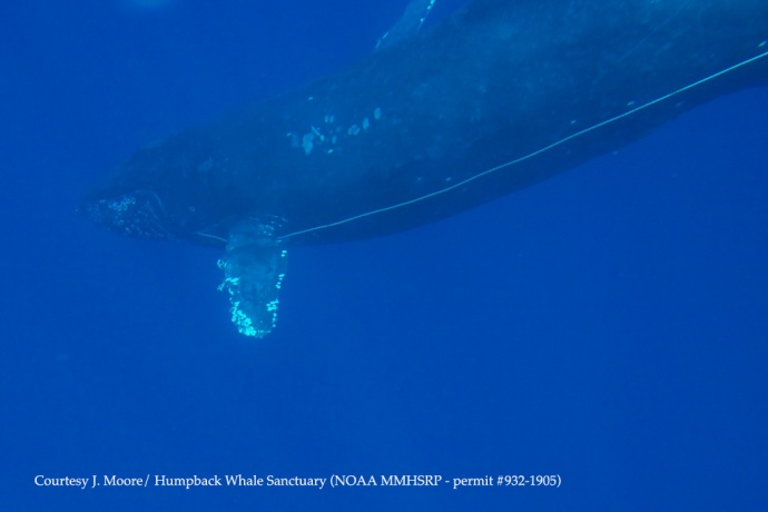 Underwater image Humpback whale with entanglement Courtesy of J. Moore - NOAA HIHWNMS - MMHSRP (permit # 932-1905)