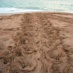 2015 Hawksbill and Honu Sea Turtle Nesting Season Begins
