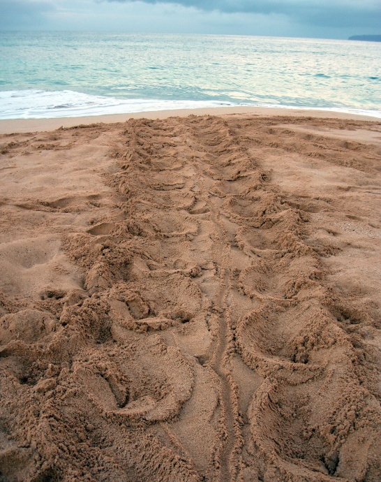 As sea turtles emerge onto beaches to lay their eggs, they leave distinctive 3 ft. wide tracks behind in the sand. Photo credit: Cheryl King.