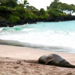 A monk seal buries its head in the sand at Hamoa Beach, Hana. File photo by David Kvasnicka.