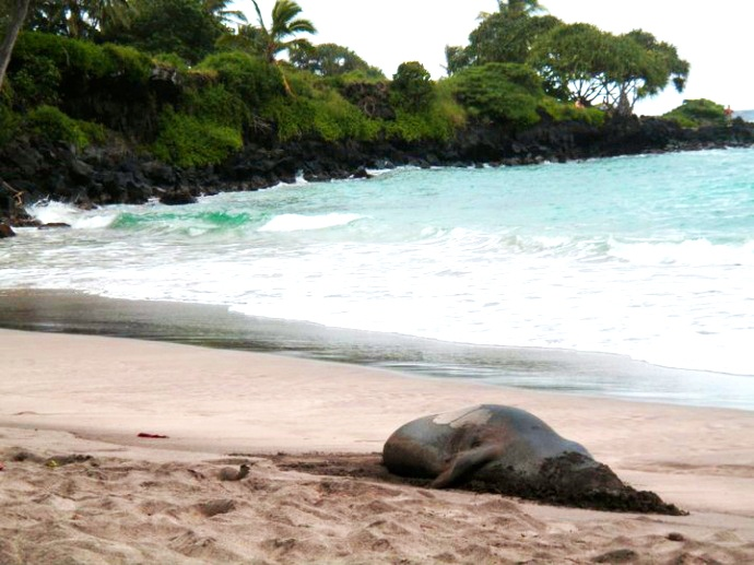 A monk seal buries its head in the sand at Hāmoa Beach, Hāna. Maui Now file photo.