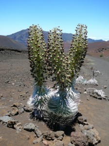 This silversword plant at Haleakalā stands 6 feet tall. Photo courtesy National Park Service.
