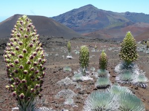 Silversword plants in bloom along the Sliding Sands trail at Haleakalā. Photo courtesy National Park Service.