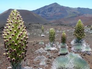 Silversword plants in bloom along the Sliding Sands trail at Haleakalā. Photo courtesy National Park Service.