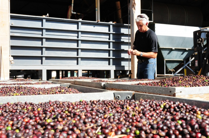 MauiGrown Coffee president, Kimo Falconer, inspects the fruits of his team's labor during the drying process. The processing methods used for their coffee varietals is contributing to the company's growing success. Courtesy photo.