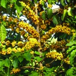 Kupa'a Yellow Coffee Plant. Courtesy image.