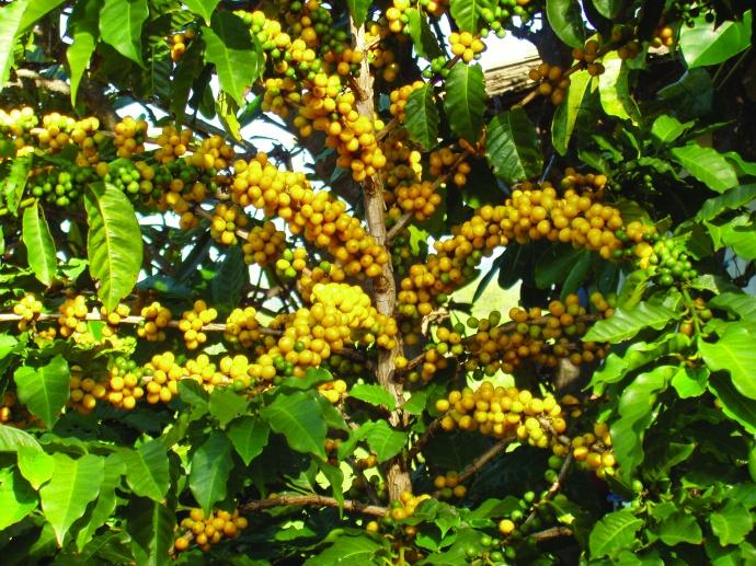 Kupa'a Yellow Coffee Plant. Courtesy image.