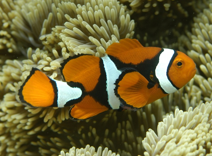 Orange clownfish, Amphiprion percula, ocean acidification. Photo by G.R. Allen. Courtesy image via Center for Biological Diversity.
