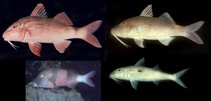Kūmū (top left), moano kea (top right), munu (bottom left), wekeʻa (bottom right). Photos courtesy DLNR Powerpoint. Credit: Dr. John E. Randall.
