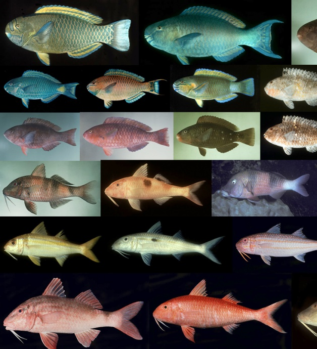 Parrotfish and goatfish. Photos courtesy DLNR Powerpoint. Credit: Dr. John E. Randall.