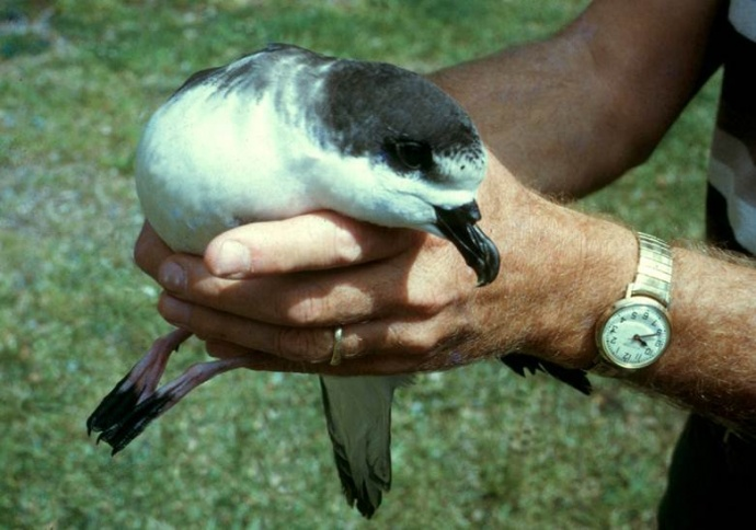 Efforts to save the endangered uaʻu or Hawaiian petrel. Photo courtesy Haleakalā National Park.
