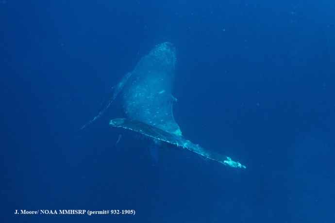 Humpback whale with entanglement (Courtesy of J. Moore - NOAA HIHWNMS MMHSRP permit # 932-1905)