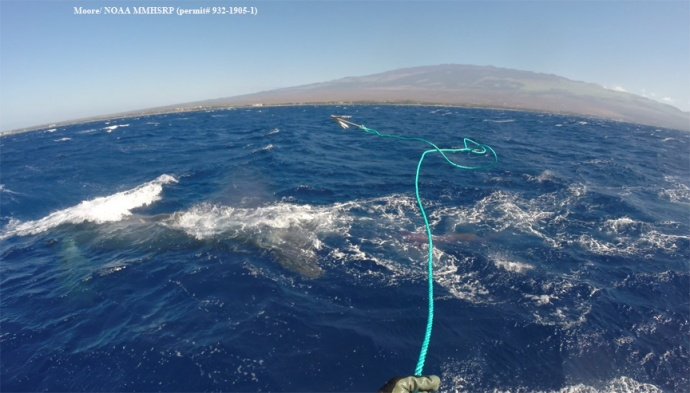Grapple being thrown by Jason Moore. (Courtesy of J. Moore - NOAA Fisheries MMHSRP permit # 932-1905)