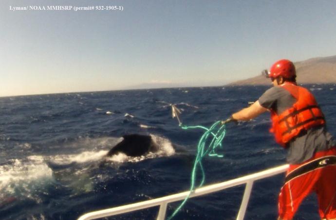 Jason Moore throwing grapple. (Courtesy of E. Lyman - NOAA Fisheries MMHSRP permit # 932-1905)