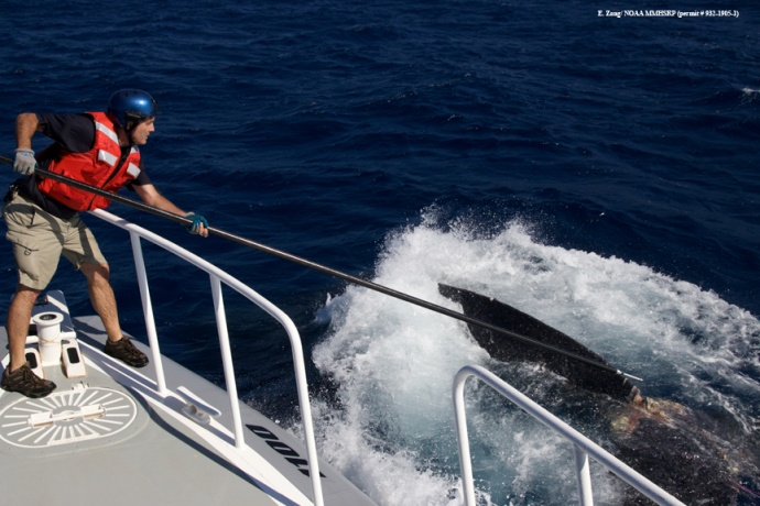 Ed Lyman with fixed knife on pole attempting cut. (Courtesy of E. Zang- NOAA Fisheries MMHSRP permit # 932-1905)
