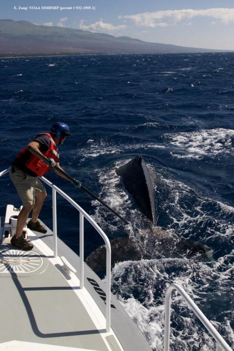 Ed Lyman with fixed knife on pole making cut. (Courtesy of E. Zang- NOAA Fisheries MMHSRP permit # 932-1905)