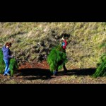 Invasive Pine Control Effort Continues at Haleakalā