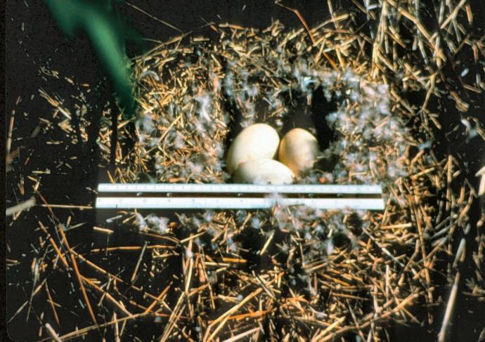 Nēnē eggs in a nest. Courtesy photo Haleakalā National Park.