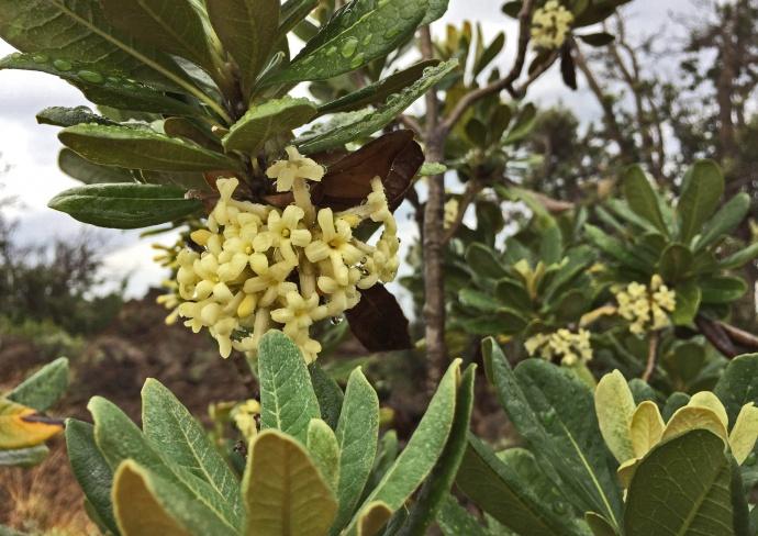 Hoawe flower