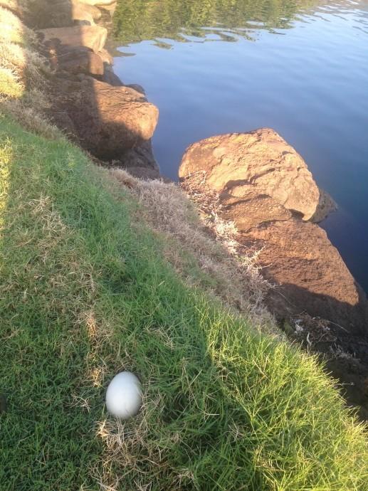Nēnē goose egg near the 12th hole/lake at The Kahili Golf Course.  Photo by: Rick Castillo.