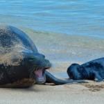Reward Offered in Hawaiian Monk Seal Death Investigation on Kauaʻi