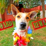 Photo courtesy Maui Humane Society; Graphics by Maui Now.
