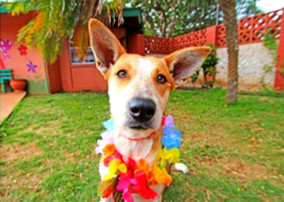 Pebbles. Photo courtesy Maui Humane Society.
