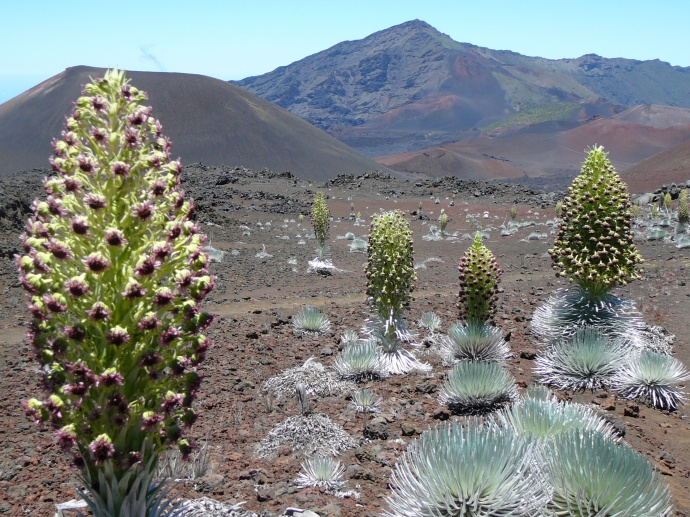 Silversword--endemic, threatened species. Photo courtesy Haleakalā National Park.